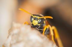 黄蜂保护蜂窝(宏指令) 图库摄影