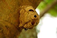 黄蜂修造巢 库存图片
