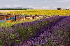 蜂入蜂巢衬里在高原De Valensole的向日葵和淡紫色领域 库存图片
