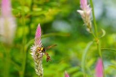 蜂关闭在cockscomb的在自然绿色背景开花 库存照片