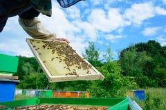 蜂农审查在蜂窝的蜂 在一个蜂窝的手上用蜂蜜 免版税库存照片