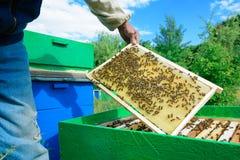 蜂农审查在蜂窝的蜂 在一个蜂窝的手上用蜂蜜 免版税图库摄影