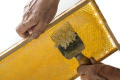 蜂农开盖蜂窝 图库摄影