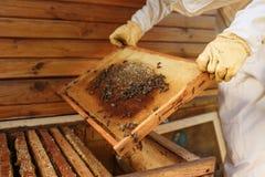 蜂农的手从蜂房拔出与蜂窝的一个木制框架 收集蜂蜜 养蜂业概念 免版税库存照片