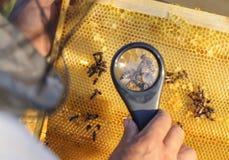 蜂农考虑在蜂窝的蜂与放大镜 免版税库存照片