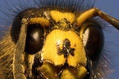 蜂凶手 库存图片