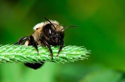 蜂切割工叶子 库存照片