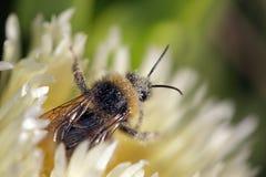 蜂包括花粉 库存图片