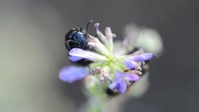 蜂吃甲虫(Trichodes apiarus) 股票录像