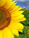 蜂向日葵 免版税图库摄影
