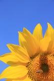 蜂向日葵 库存照片