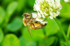蜂吮一朵花 免版税库存图片
