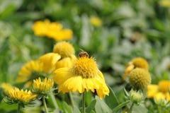 蜂吮花粉 库存图片