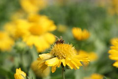 蜂吮花粉 免版税库存照片