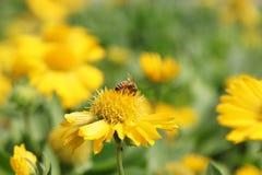 蜂吮花粉 免版税库存图片