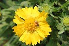 蜂吮花粉 图库摄影