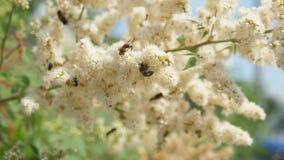 蜂和一次飞行在一个分支从白花收集花蜜在树 r 昆虫从开花收集花蜜