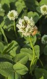 蜂和三叶草花 图库摄影