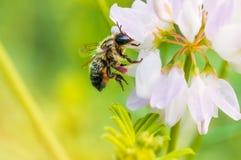 蜂和三叶草 免版税库存图片