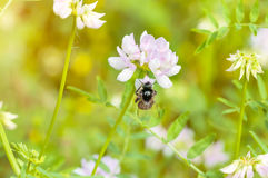 蜂和三叶草 库存图片
