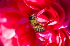 蜂和上升了 库存图片