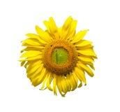 蜂和向日葵在白色 库存图片