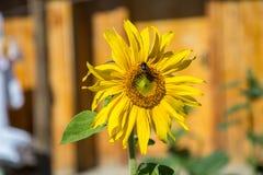 蜂和向日葵 免版税库存照片