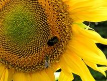 蜂和向日葵3 免版税库存图片