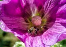 蜂和喇叭花 库存图片