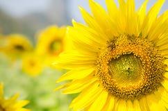 蜂和大向日葵 免版税库存图片