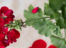 蜂和天竺葵 免版税库存图片