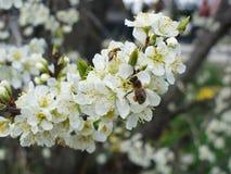 蜂和开花 免版税图库摄影