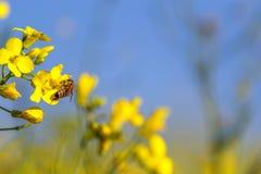 蜂和强奸花 库存照片