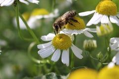 蜂和春黄菊 库存图片