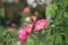 蜂和桃红色花 免版税库存图片