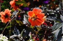 蜂和橙色花 免版税库存照片