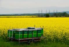 蜂和油菜 库存照片