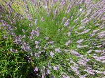 蜂和淡紫色3 免版税图库摄影