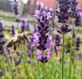 蜂和淡紫色 库存照片