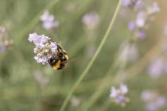 蜂和淡紫色 免版税库存图片