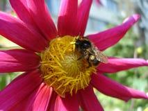 蜂和深深-紫色-红色大丽花花 免版税库存照片