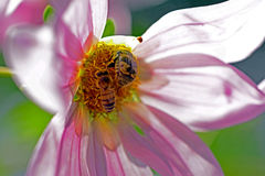 蜂和甲虫在花 库存图片