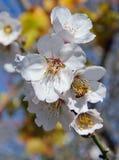 蜂和白色杏仁花 免版税库存图片