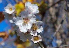 蜂和白色杏仁花 免版税库存照片