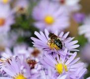 蜂和秋天花 库存照片