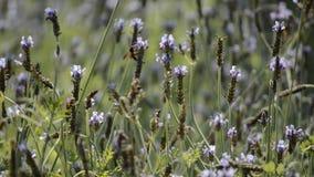 蜂和美丽的淡紫色在庭院里开花开花 股票视频