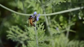 蜂和美丽的淡紫色在庭院里开花开花 影视素材
