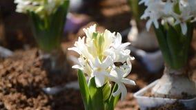 蜂和美丽的白色风信花在庭院里开花开花 影视素材