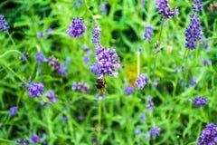 蜂和花坚苦工作  免版税图库摄影