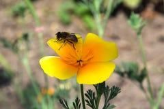 蜂和花晚樱草 图库摄影